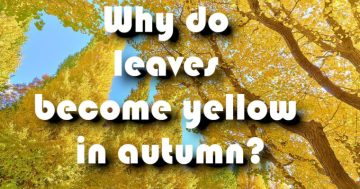 Why do leaves become yellow in autumn?